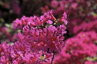 Rhododendron japonicum, 'Madame van Hecke', Azalee