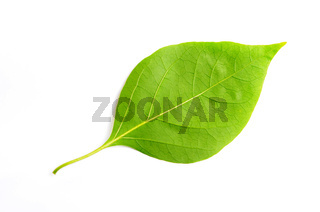 Green leaf of bougainvillea spectabilis wind on a white background.