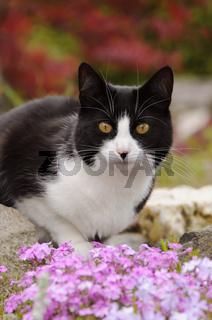 Hauskatze im Garten, cat, black white, in a flowering garden