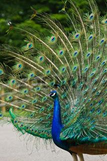 Blaue Pfau (Pavo cristatus)