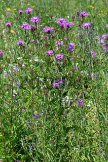 Centaurea jacea, Wisen-Flockenblume