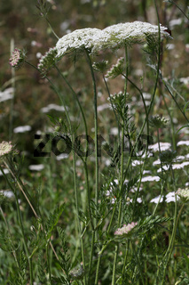 Wilde Möhre, Daucus carota, Wild Carrot