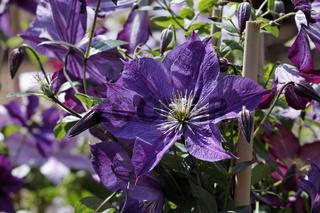 Clematis-Hybride 'Walenburg', Clematis, Waldrebe - Clematis-Hybride 'Walenburg', Clematis flower