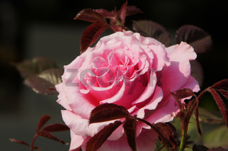 Rosa Princess Alexandra, Edelrose, Hybrid-rose