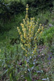 Mehlige Königskerze, Verbascum lychnitis, White Mullein