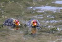 Coot chicks