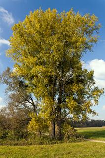 Populus x canadensis, Kanadapappel, Hybrid Black Poplar