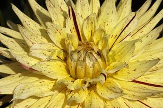 Dahlia, Kaktus-Dahlie 'Gelber Vulkan' - Cactus Dahlia 'Gelber Vulkan'