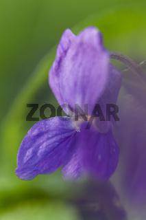 März-Veilchen ( Viola odorata)