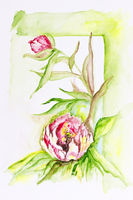 peony flowers