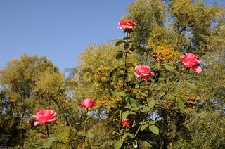 Rosa Mondiale, Edelrose, Hybrid-rose