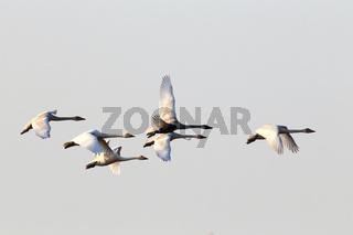 Singschwaene Flug