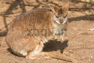 A parma wallaby