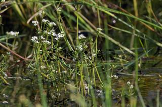 Galium palustre, Sumpf-Labkraut, Marsh-Bedstraw