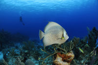 Pomacanthus arcuatus, grey angelfish