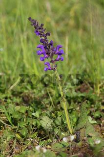 Wiesensalbei, Salvia pratensis, meadow sage
