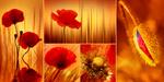 Mohnblumen Collage