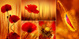 Mohnblumen Collage