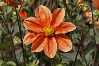 Dahlia x hortensis 'Catherine Deneuve', Dahlie