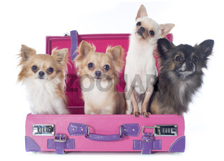 chihuahuas in suitcase