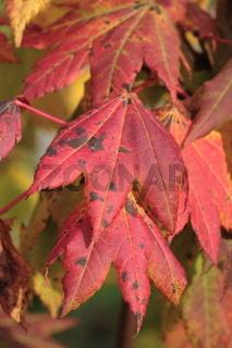 Weinblatt-Ahorn - Acer circinatum