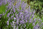 Lavandula angustifolia Batlad, Lavendel, Lavender