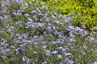 Linum austriacum, Oesterreichischer Lein, Austrian flax
