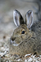 Snowshoe Hare resting under a willow tree