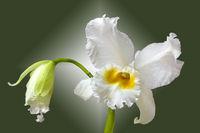 orchid cattleya eagle eye
