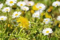 Loewenzahn und Gaensebluemchen - dandelion  and daisy 08