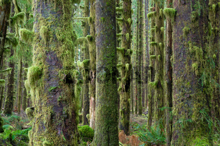 Cedar Trees Deep Forest Green Moss Covered Growth Hoh Rainforest