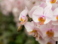 White pink orchids in bloom