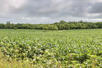 soybean crops in Missouri