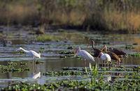 White Ibis und Snowy Egret foraging in a swamp