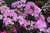 verschiedene Zuchtformen eines Rhododrendron (Rhododendron strig