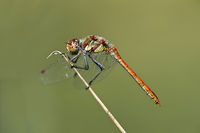 Male of Vagrant Darter