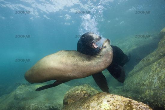 Kalifornische Seeloewen, Mexiko