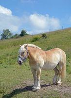 Haflinger Horse,Ruegen Island,Germany