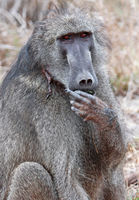 baboon shows middle finger, Kruger National Park