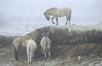 Heck Horse stallion and foals in hoarfrost