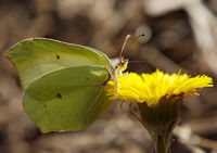 Lime butterfly sit on flower