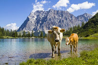 cows in Wetterstein mountains