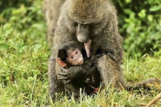 Pavianmutter mit Baby