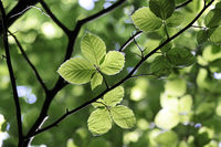 Beech leaves in spring time