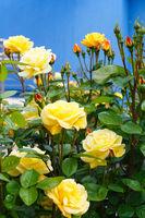 Yellow rose flowers closeup.