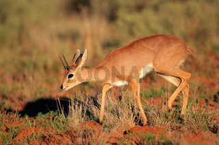 Male steenbok antelope (Raphicerus campestris)
