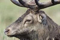 Portrait of a Red Deer stag on a forest meadow
