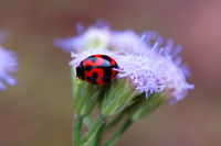 A ladybird climbing up a purple flower
