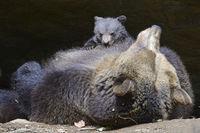 Europäischer Braunbär (Ursus arctos), Muttertier säugt Jungtier,