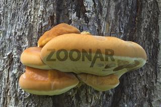 Shelf Fungus on the Tree